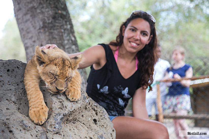 Lionceau à Casela