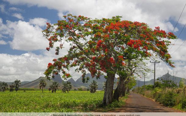 Les flamboyants en fleurs, l'arbre de Noël mauricien