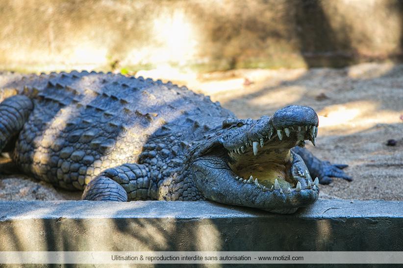 crocodiles parc de la vanille