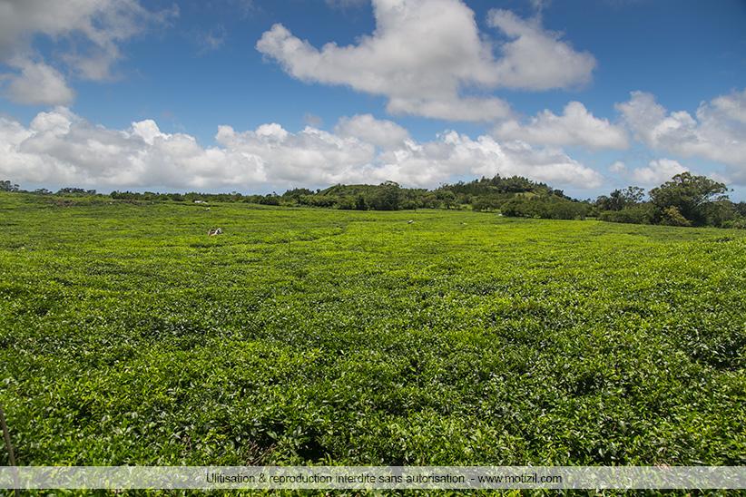 Plantations de thé Ile Maurice