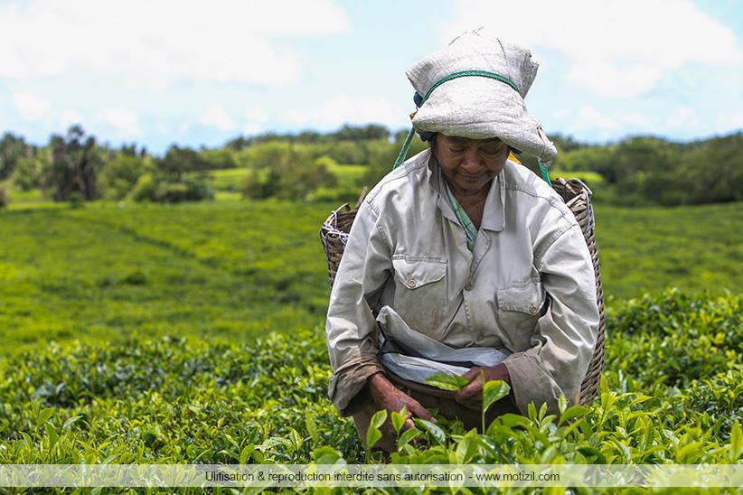 Route du thé Ile Maurice