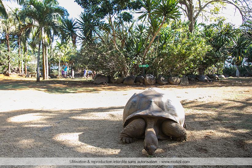 tortues d'aldabra Ile Maurice